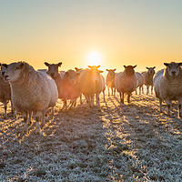 Buy canvas prints of sheep in winter sun by mike morley