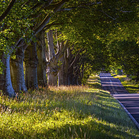 Buy canvas prints of Beech Tree Avenue Near Wimborne in Dorset by Chris Dorney