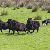 Buy canvas prints of Working Sheep Dog by Chris Dorney