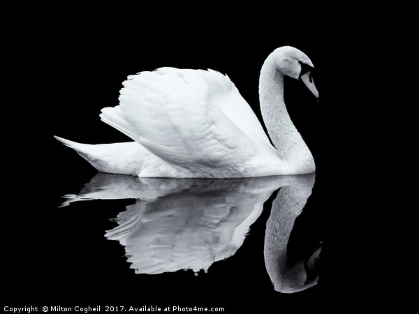 Swan 1 - Black Series Framed Mounted Print by Milton Cogheil