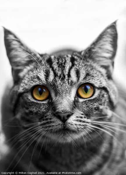 Portrait of a Tabby cat Print by Milton Cogheil