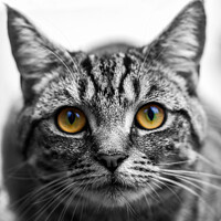 Buy canvas prints of Portrait of a Tabby cat by Milton Cogheil
