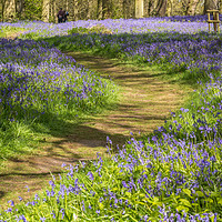 Buy canvas prints of Buebell Walk by Ann Mitchell
