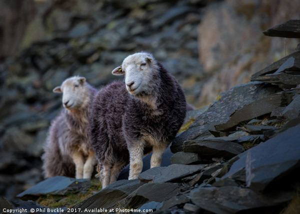 Herdwick Sheep At Honister Pass Canvas print by Phil Buckle