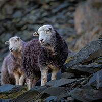 Buy canvas prints of Herdwick Sheep At Honister Pass by Phil Buckle