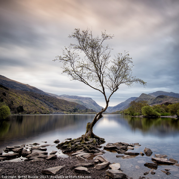 Llanberis Lone Tree Canvas print by Phil Buckle
