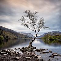 Buy canvas prints of Llanberis Lone Tree by Phil Buckle