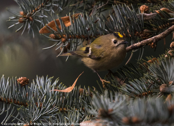Goldcrest  Canvas print by David O'Brien