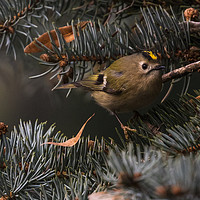 Buy canvas prints of Goldcrest  by David O'Brien