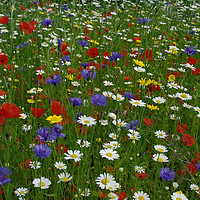 Buy canvas prints of English meadow flowers by alan Barnes