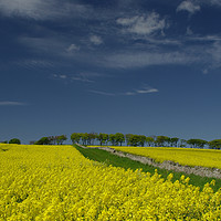 Buy canvas prints of Oilseed in flower by alan Barnes