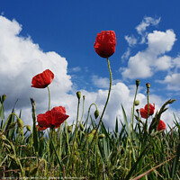 Buy canvas prints of Poppy Field Blue Sky by Graham Binns