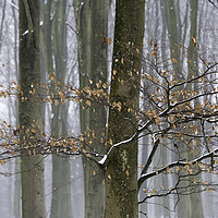 Buy canvas prints of Misty Snowy Beeches by Kentish Dweller