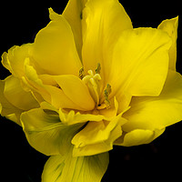 Buy canvas prints of Bold and Bright Yellow Flower by Carly Hodges