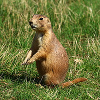 Buy canvas prints of Black-Tailed Prairie Dog  by Christiane Schulze