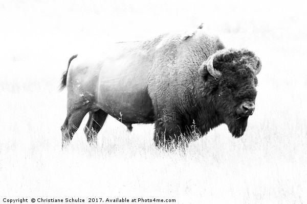 Bison - Monochrome  Canvas print by Christiane Schulze