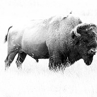 Buy canvas prints of Bison - Monochrome  by Christiane Schulze