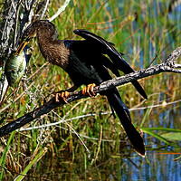 Buy canvas prints of A Darters Meal by Christiane Schulze