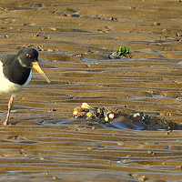 Buy canvas prints of  Oystercatcher (Haematopus) by Neville Hawkins