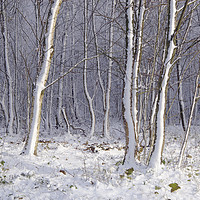 Buy canvas prints of Early Snow in Woods Near Gittisham, Devon by Paul Prestidge