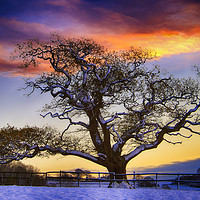Buy canvas prints of Snow covered Tree at Sunset by Paul Prestidge