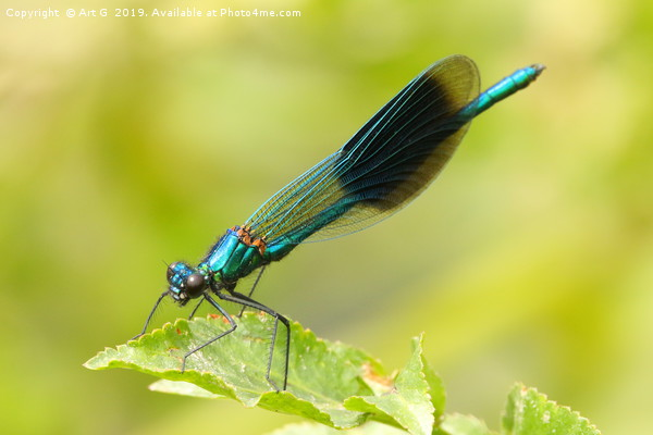 Banded Demoiselle Canvas print by Art G