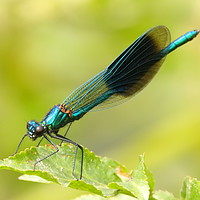 Buy canvas prints of Banded Demoiselle by Art G