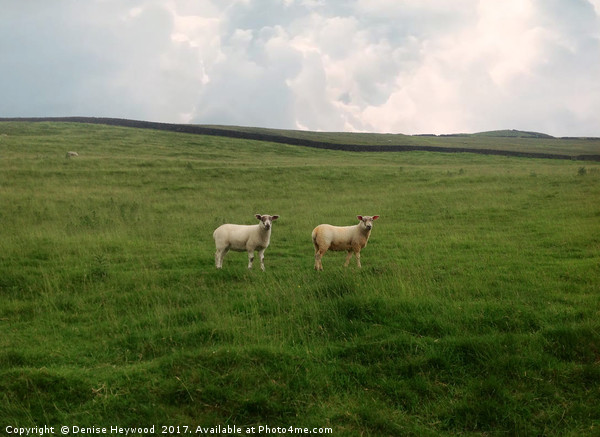 Twin Sheep on a hillside Canvas Print by Denise Heywood