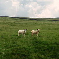 Buy canvas prints of Twin Sheep on a hillside by Denise Heywood