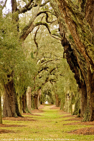 Line of Oak Trees to Distance Canvas print by Darryl Brooks