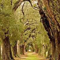 Buy canvas prints of Line of Oak Trees to Distance by Darryl Brooks