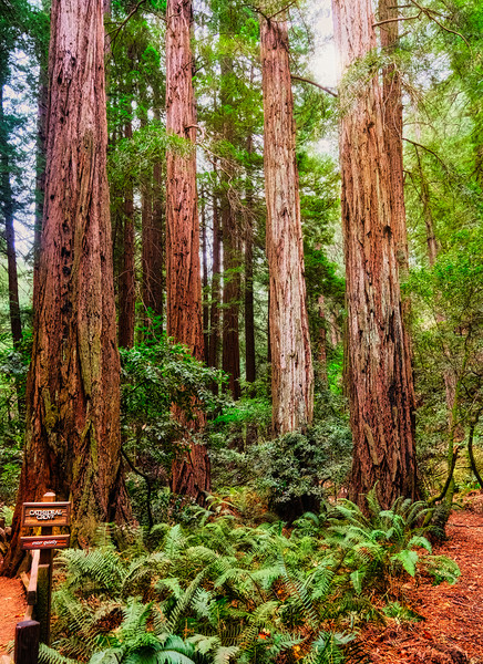 Cathedral Grove in Muir Woods Canvas print by Darryl Brooks