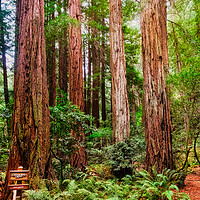 Buy canvas prints of Cathedral Grove in Muir Woods by Darryl Brooks
