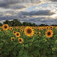 Buy canvas prints of The Sunflower Field by Jon Jones