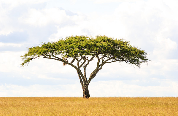 Acacia Vachellia Tortilis - Serengeti 5101 Canvas print by AMYN NASSER