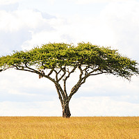 Buy canvas prints of Acacia Vachellia Tortilis - Serengeti 5101 by AMYN NASSER