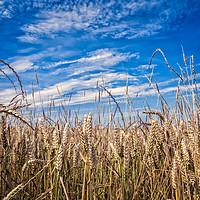 Buy canvas prints of Wheatfields by Iain Merchant
