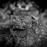 Buy canvas prints of Amphibian, Common British Toad / Frog by Jason Jones