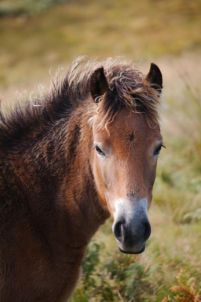 Exmoor Pony Canvas Print by Simon J Beer