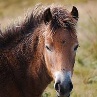 Buy canvas prints of Exmoor Pony by Simon J Beer
