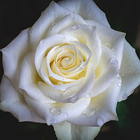 Buy canvas prints of White Rose after rain by Katharina Brandt