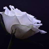 Buy canvas prints of White Rose by Janet Simmons