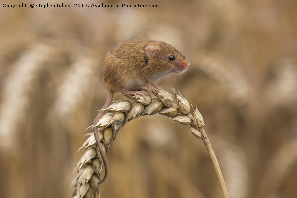 Harvest Mouse (micromys minutus) on ear of corn Canvas print by stephen tolley