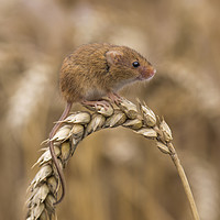 Buy canvas prints of Harvest Mouse (micromys minutus) on ear of corn by stephen tolley