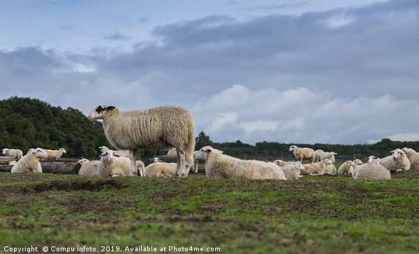 Sheep herd on heather land in Ede Holland Canvas print by Compu infoto