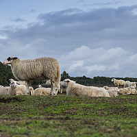 Buy canvas prints of Sheep herd on heather land in Ede Holland by Compu infoto