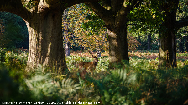 Richmond Park (16x9 crop) Canvas print by Martin Griffett