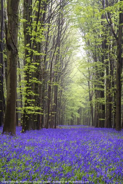 Vibrant bluebell carpet Spring forest landscape Framed Print by Matthew Gibson