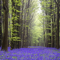 Buy canvas prints of Vibrant bluebell carpet Spring forest landscape by Matthew Gibson