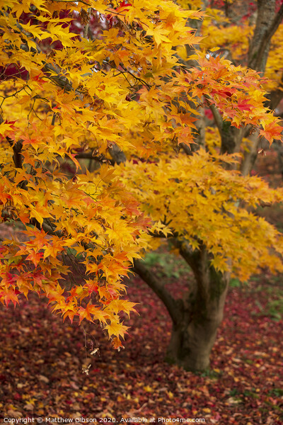 Beautiful colorful vibrant red and yellow Japanese Maple trees in Autumn Fall forest woodland landscape detail in English countryside Print by Matthew Gibson